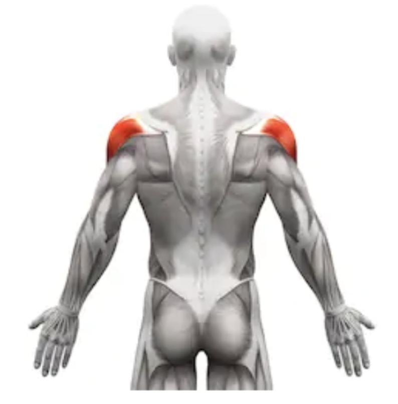 肩のリアの筋肉