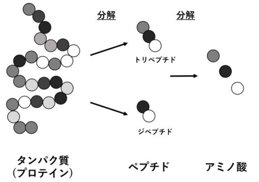 タンパク質とアミノ酸の違い